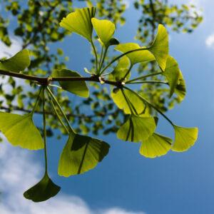 Гинко билоба – защита срещу глаукома